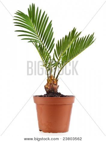palm tree in flowerpot on white background