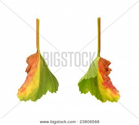 Diseased leaf of  Pelargonium - fungal attacked