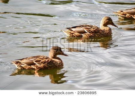 Ducks on the water
