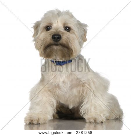 Yorkshire Terrier (18 Months)