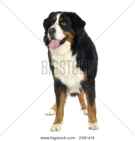Bernese Mountain Dog (10 Years)