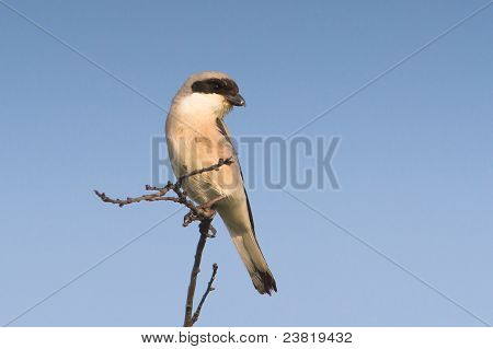 Lesser Grey Shrike resting on the branch / Lanius minor