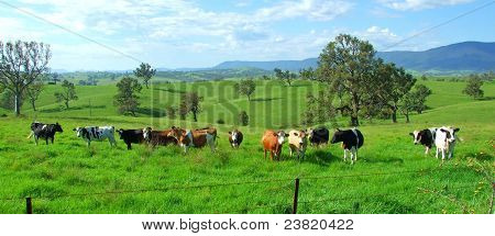 Dairy cows in field