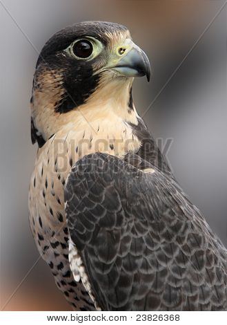 Portrait Of Peregrine Falcon