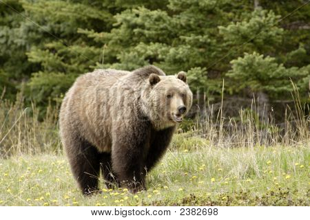 Grizzly Bear.