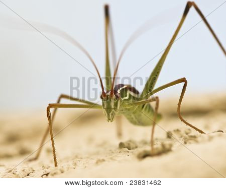 A Close Up View Of A Katydid
