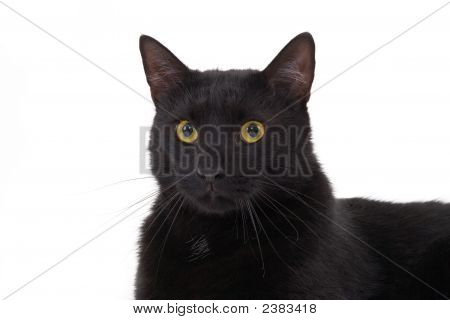 Black Cat Looking Up Isolated On White