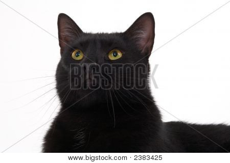 Black Cat Portrait, Isolated