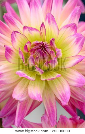 Chrysanthemum Flower Head
