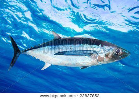 Peixes de atum voador Thunnus Alalunga oceano subaquático [Foto ilustração]