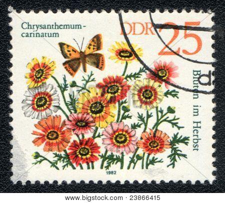 Chrysanthemum Carinatum And  Insect