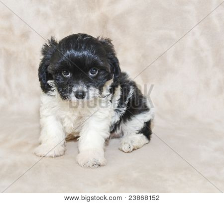 Black And White Cavachon Puppy