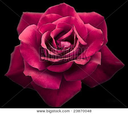 Dark Red Rose Poster