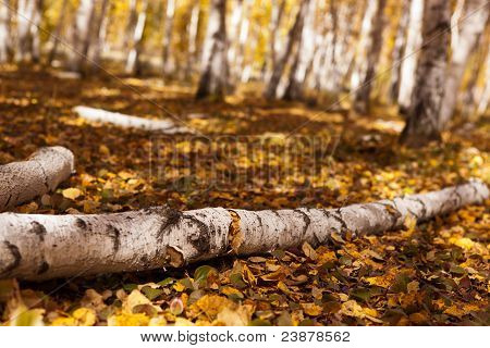 White Birch Forest In Autumn