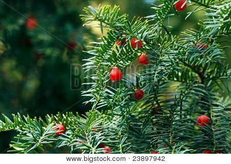 Autumn taxus tree with red berries on blue sky background