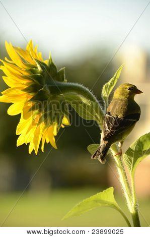 Meadowlark On Its Perch