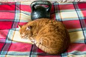 Lazy Red Cat, Curled Up And Sleeping Near The Standard 24-kg Cast Iron Kettlebell. He Doesn`t Intere poster