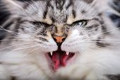 Angry Gray Cat Close-up Shows His Fangs poster