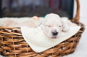 Portrait Of Two Weeks Old Cute Golden Retriever Puppy In The Basket. Lovely Golden Retriever Baby Bo poster