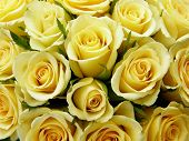 foto of yellow rose  - Close - JPG