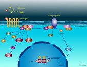 pic of neurotransmitter  - Illustration of the basic molecular pathways regulated by histamine - JPG
