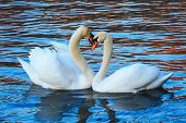 White Swans On A Blue Lake. Beautiful White Swan With The Family In Swan Lake, Romance, Seasonal Pos poster