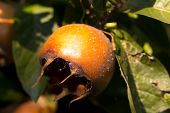 The pome of fruit of the Common Medlar poster