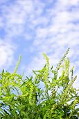 pic of ragweed  - Flowering ragweed plant in closeup against blue sky a common allergen - JPG