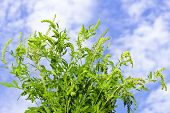 foto of ragweed  - Flowering ragweed plant in closeup against blue sky a common allergen - JPG