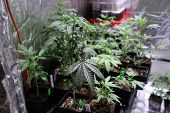 Medical and Recreational Marijuana Plants, Seedlings, Cuttings and Clones being grown indoors in a M poster