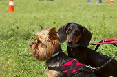 Animals,pets,dogs Concept.dogs Outdoors,cropped Shot.yorkshire Terrier And Black Dachshund Over Gree poster
