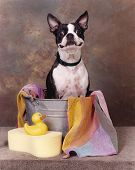 Boston terrier in a tub