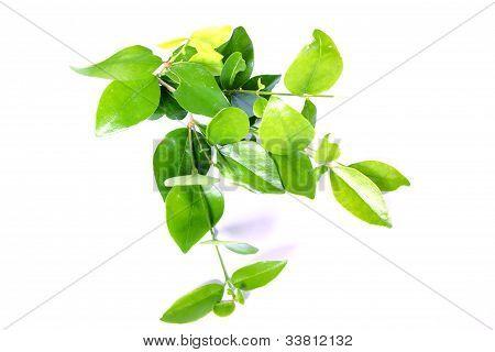 Privet Bush Foliage