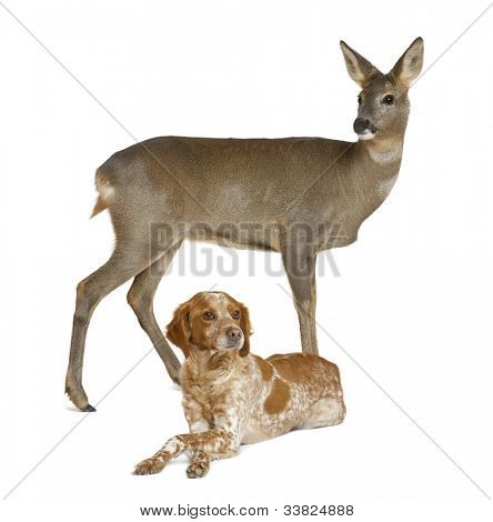 European Roe Deer, Capreolus capreolus, 3 years old, standing with dog lying against white background