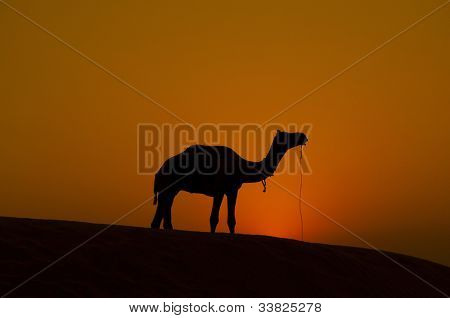A camel standing in the middle of desert, Rajastan India