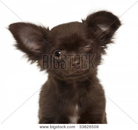 Chihuahua puppy, 3 months old, winking against white background