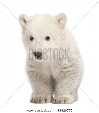 Polar bear cub, Ursus maritimus, 3 months old, standing against white background