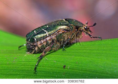 cockchafer on green sheet