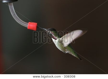 Bchummingbird2wingsback