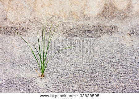 Grass Stalk In Sand Dune