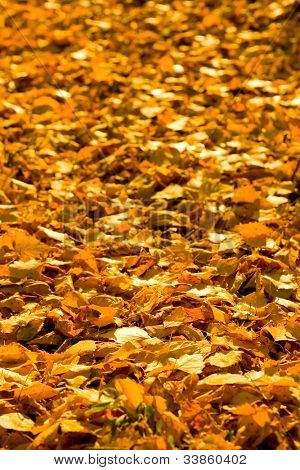 Bright birch leaves covering the ground