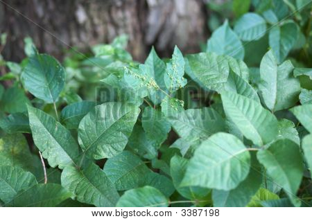 Poison Ivy Clump