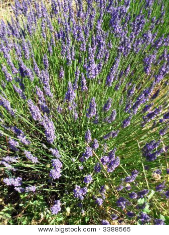 Lavender Fields Close Up For Essential Oils