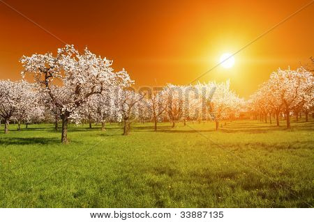 Stunning vivid sunset over the blooming apple orchard in the spring