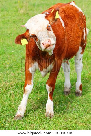 Cute calf cow on a rural meadows. Close up with shallow DOF.