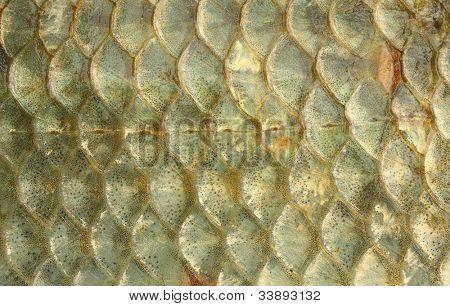 Fish scales - close up. The Prussian carp or Goldfish (Carassius auratus gibelio).