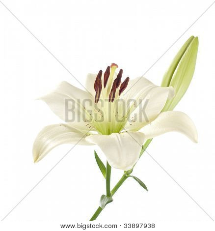white lily on a white background