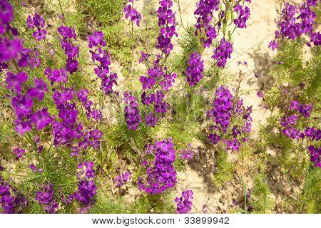 violet delphiniums  on sand