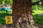 View Of The Giant Redwood, Sequioiadendron Giganteum, Planted By King Ferdinand In The Suburbs Of So poster
