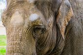 Closeup Of The Face Of A Asian Elephant, Beautiful Portrait Of A Endangered Animal Specie From Asia poster